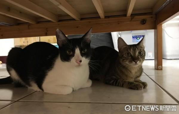 ▲失控甜甜圈!貓咪「碩碩」和「悠悠」在貓隧道玩到瘋掉。(圖/粉專《雙喵殿の悠悠喝米漿》提供,請勿隨意翻拍,以免侵權。)