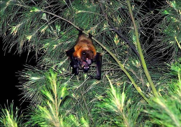 狐蝠被列為「瀕臨絕種保育類野生動物」, 5年前才在綠島意外發現懷抱幼仔的狐蝠媽媽。