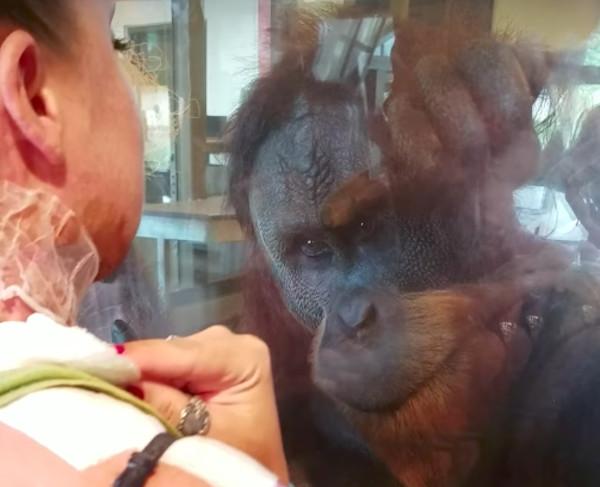 「再近一點我看看」紅毛猩猩直盯遊客傷疤,溫暖眼神治癒人心(圖/翻攝自YouTube)