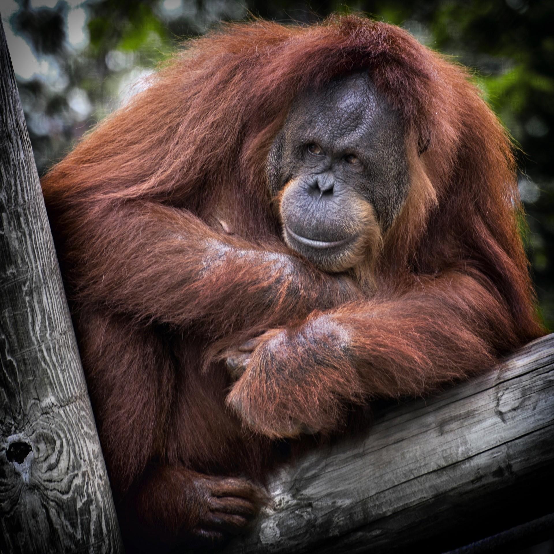 「再近一點我看看」紅毛猩猩直盯遊客傷疤,溫暖眼神治癒人心(圖/cc0)