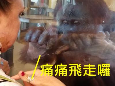 「再近一點我看看」紅毛猩猩直盯遊客傷疤,溫暖眼神治癒人心