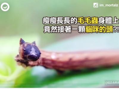 這隻蟲不可怕!小身體上有尖耳毛絨臉,「貓貓蟲」都是真的