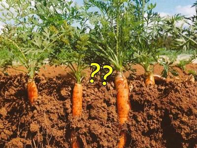 弄丟鑽戒13年,昨天發現..在田裡一根紅蘿蔔上