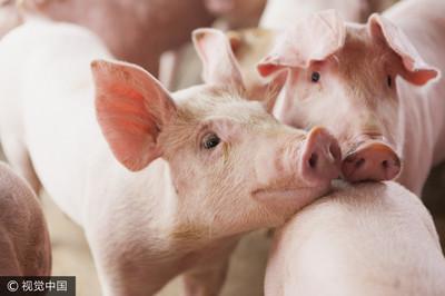 非洲豬瘟影響大陸豬肉上週上漲11%