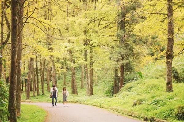 ▲溪頭森林公園裡的銀杏步道。(圖/IG@bear88023提供,請勿任意翻攝以免侵權)