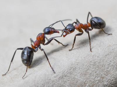 螞蟻根本薪水小偷!昆蟲學家發現:至少40%是整天裝忙