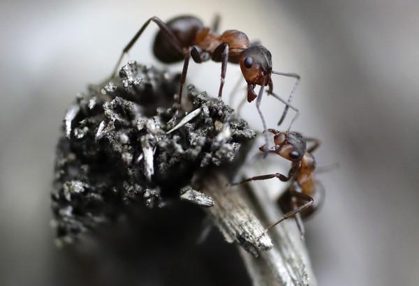 小 蟻 國際 版