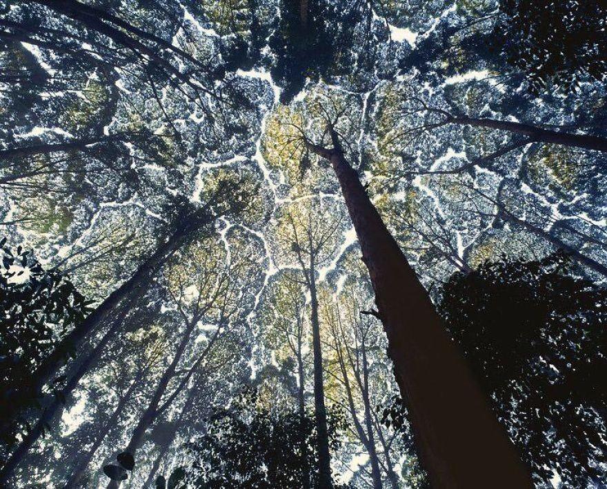 圖/翻攝http://www.boredpanda.com/crown-shyness-trees-avoid-touching/
