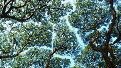 樹冠「互相禮讓」避免擦傷!天然遮蔭拼圖美的奇特