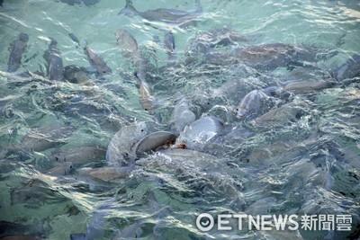 潛水教練險被龍王鯛咬掉一塊肉!憂心「魚吃人」噩夢正成真