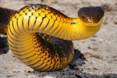 毒到1000萬年沒換過配方!「澳洲虎蛇毒液」煉出地表最強血清