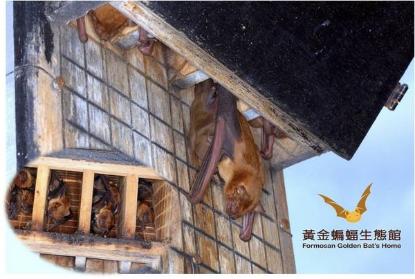 ▲這間蝙蝠屋內曾經棲息過26隻高頭蝠。(圖/館長張恒嘉提供)