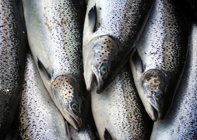 比60年前少75萬隻 英國鮭魚剩5%洄游