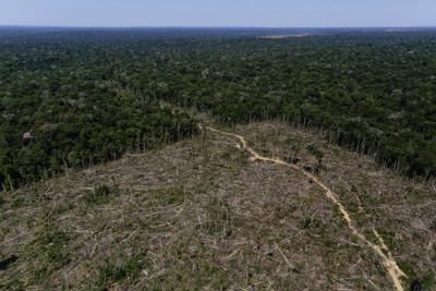 印加樹復育雨林過度開發的土地