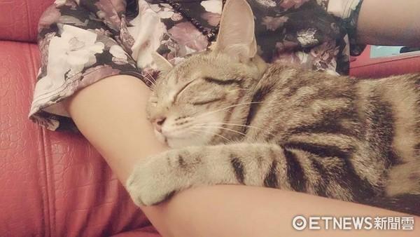 貓車禍脫腸斷骨堅毅活下!美容院收養一年後變超美店貓(圖/小卡貓狗救援志工團)