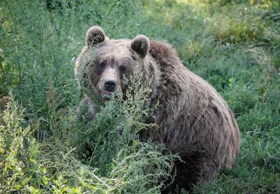 遭棕熊攻擊!勇男「咬熊舌」保命