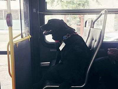拉布拉多每天「獨自搭公車」到最愛公園♥ 最初契機是一根菸
