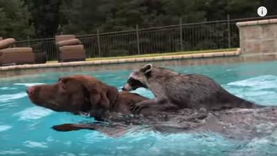 小浣熊鼓足勇氣跳下水,才游8秒爬狗麻吉背上搭順風車XD