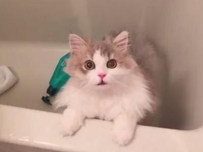 發現自己中計的貓咪 表情萌變化...我的心臟中了一箭!