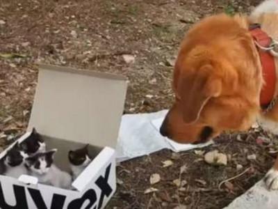 黃金獵犬拾獲「一盒四入」小貓咪,撿了個現成老爸來當