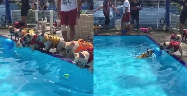 ▲▼一群法鬥泳池畔開趴,想玩球卻怕水只能在旁邊「吠」。(圖/取自Instagram tomoe589)