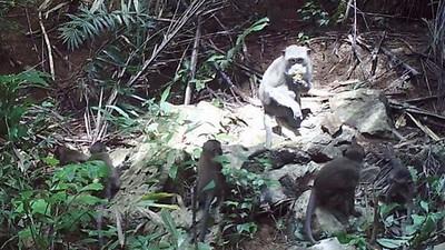 宣告獼猴進入「石器時代」!泰國學者驚:用石廚具料理食物