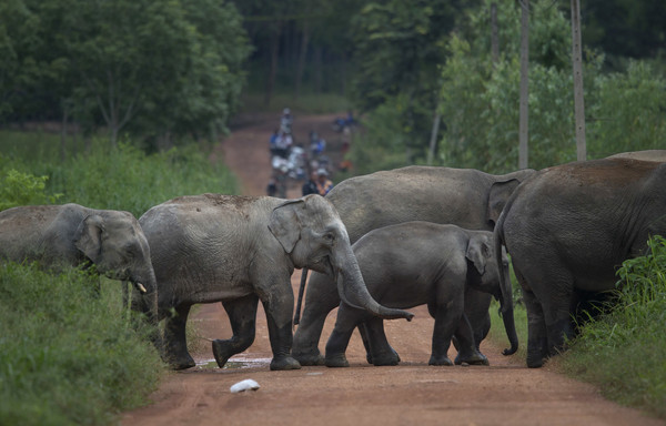 ▲▼泰國大象。(圖/達志影像/美聯社)