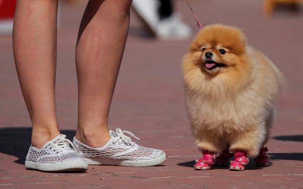Resultado de imagen para 犬 Pomeranians 抱擁
