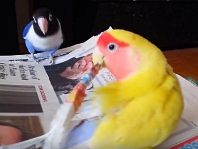 鸚鵡撕爛你紙不是搗蛋!小黃「狂扯筆記」通通埋進自己腰內肉
