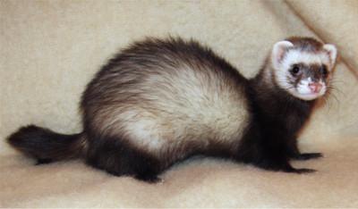 日警抓雪貂染蜂窩性組織炎 17年後過世獲國賠
