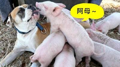 母愛爆棚!拳師犬認「8隻小豬」做孩子,自產狗奶任牠們吸
