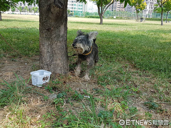 ▲遭棄養的高齡雪納瑞犬。(圖/高雄市關懷流浪動物協會授權提供。)