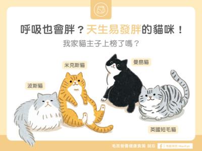 米克斯、波斯 4種貓咪天生易胖...別再用「阿嬤餵法」!