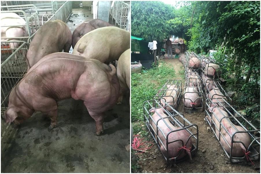 ▲一群小豬基因改造後看起來猶如「綠巨人浩克」身上滿滿都是肌肉。(圖/翻攝自កសិករខេត្តបន្ទាយមានជ័យ臉書)