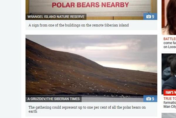 ▲俄羅斯弗蘭格爾島上有約230頭北極熊,聚集一起分食擱淺的鯨魚。(圖/翻攝自太陽報)