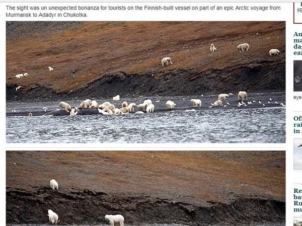 ▲俄羅斯弗蘭格爾島上有約230頭北極熊,聚集一起分食擱淺的鯨魚。(圖/翻攝自siberiantimes)
