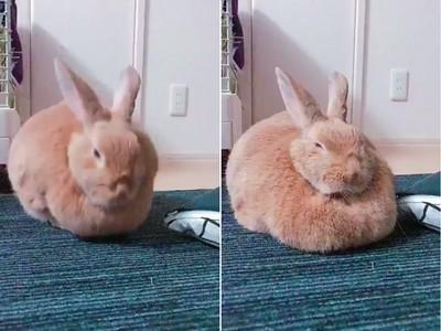 兔兔「一秒變形坦克」!厚嘟嘟臉頰肉擠到溢出