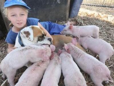 同樣在外流浪過...拳師犬親餵母乳,對八隻小豬視如己出