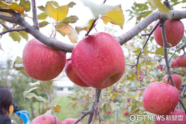 到青森弘前蘋果公園摘蘋果1公斤只要320日圓。(圖/黃士原攝)