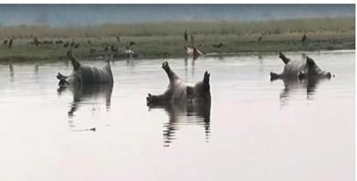 炭疽病爆發?非洲上百隻河馬死亡