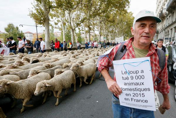 ▲不滿當局過度保護野狼,法國羊農與羊隻上街頭示威抗議。(圖/路透)