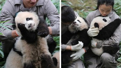 直擊「熊貓寶寶幼兒園」!討抱抱摸大腿,不想乖乖排隊