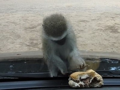 南非小猴隔車窗撈漢堡,歪頭困惑怎麼摸不到