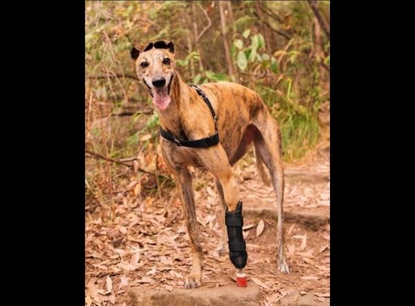 ▲▼ 澳洲格力犬Millie靠著3D列印義肢幫忙,已經可以再度瘋狂奔跑、重獲新生。(圖/翻攝自Instagram/millie_thebionicgreyhound)