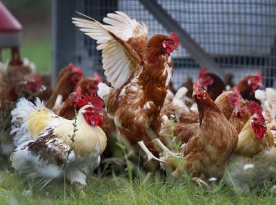 屏東再爆H5N2禽流感!