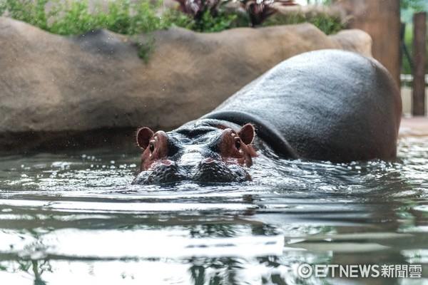 河馬浴場開幕。(圖/台北市立動物園提供)