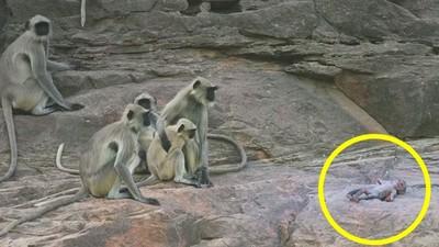 BBC派出34隻臥底動物!當機器小猴摔落時,這群猴子悲痛哀悼..