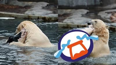 北極熊和乳牛「跳水中芭蕾超有愛」 真相浮出水面...眾人噁吐