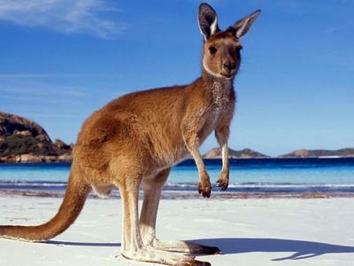 澳洲狂推「獵殺袋鼠」外銷 想讓中國人吃光為什麼失敗?
