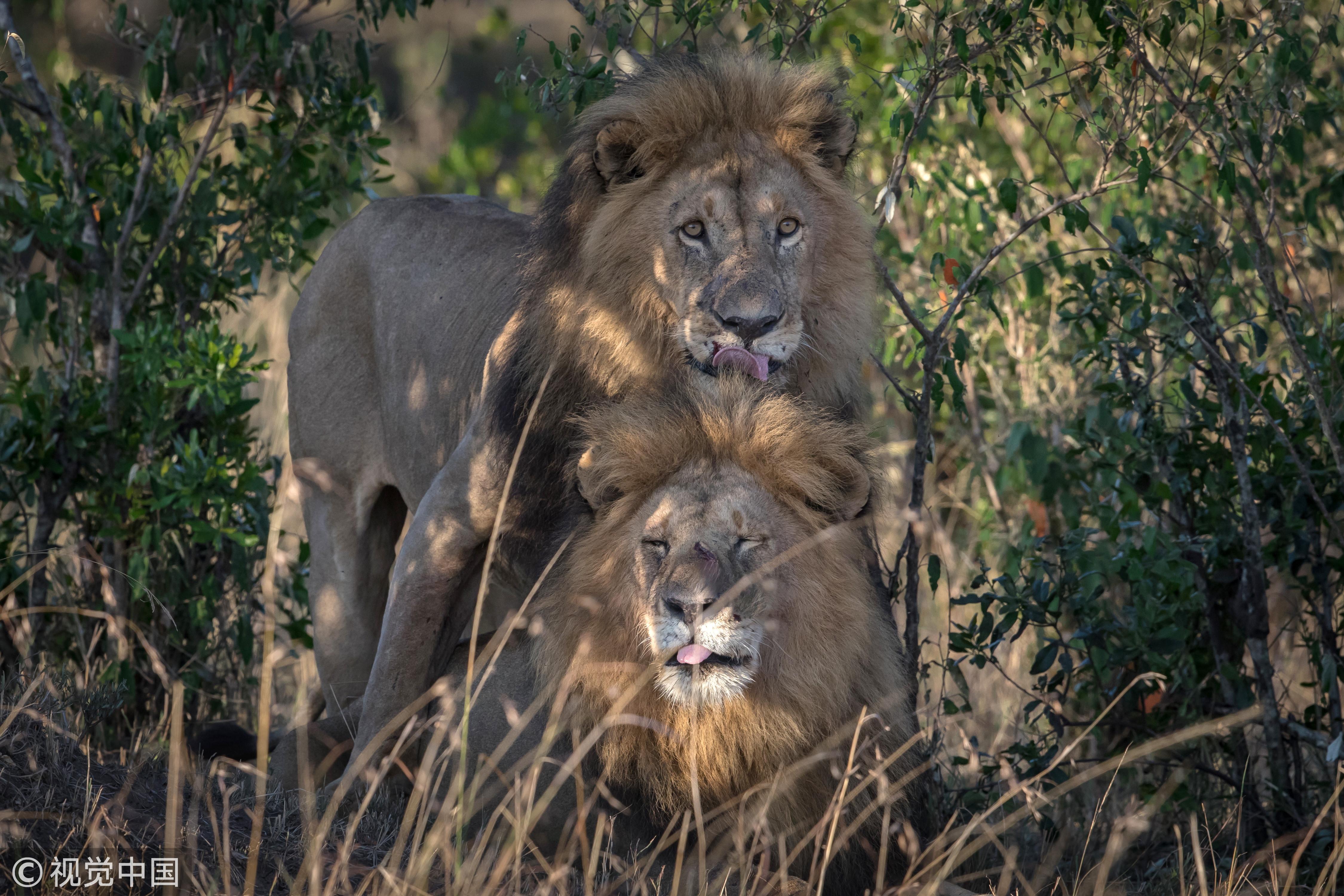 ▲▼馬賽馬拉(Masai Mara)動物保護區內出現兩隻同性戀獅子。(圖/CFP)